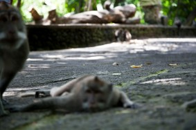Ubud Monkeys