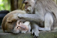 Ubud Monkeys