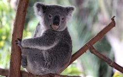 Koala1.72dpi