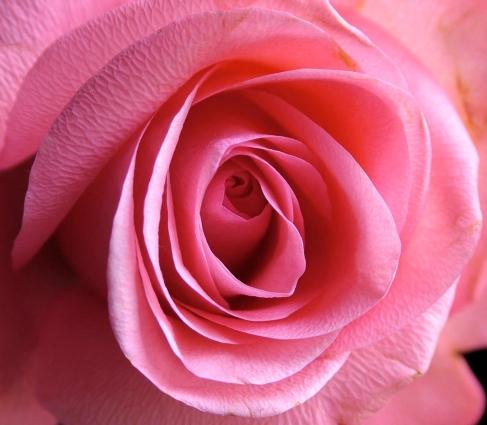 Rose1.72dpi