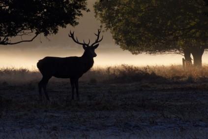Deer in Richmond Park 2013