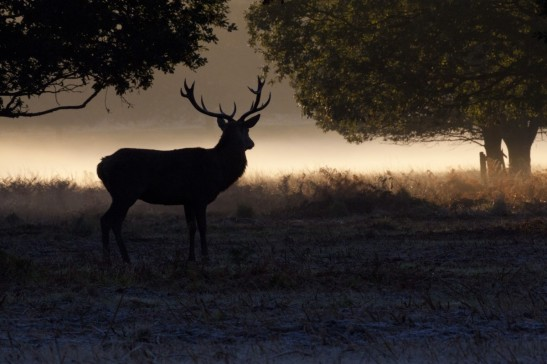Deer in Richmond Park 2013