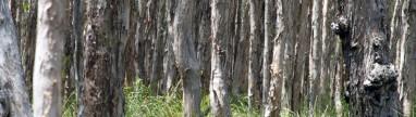 The Gum Trees