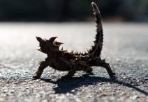Thorny Devil.72dpi